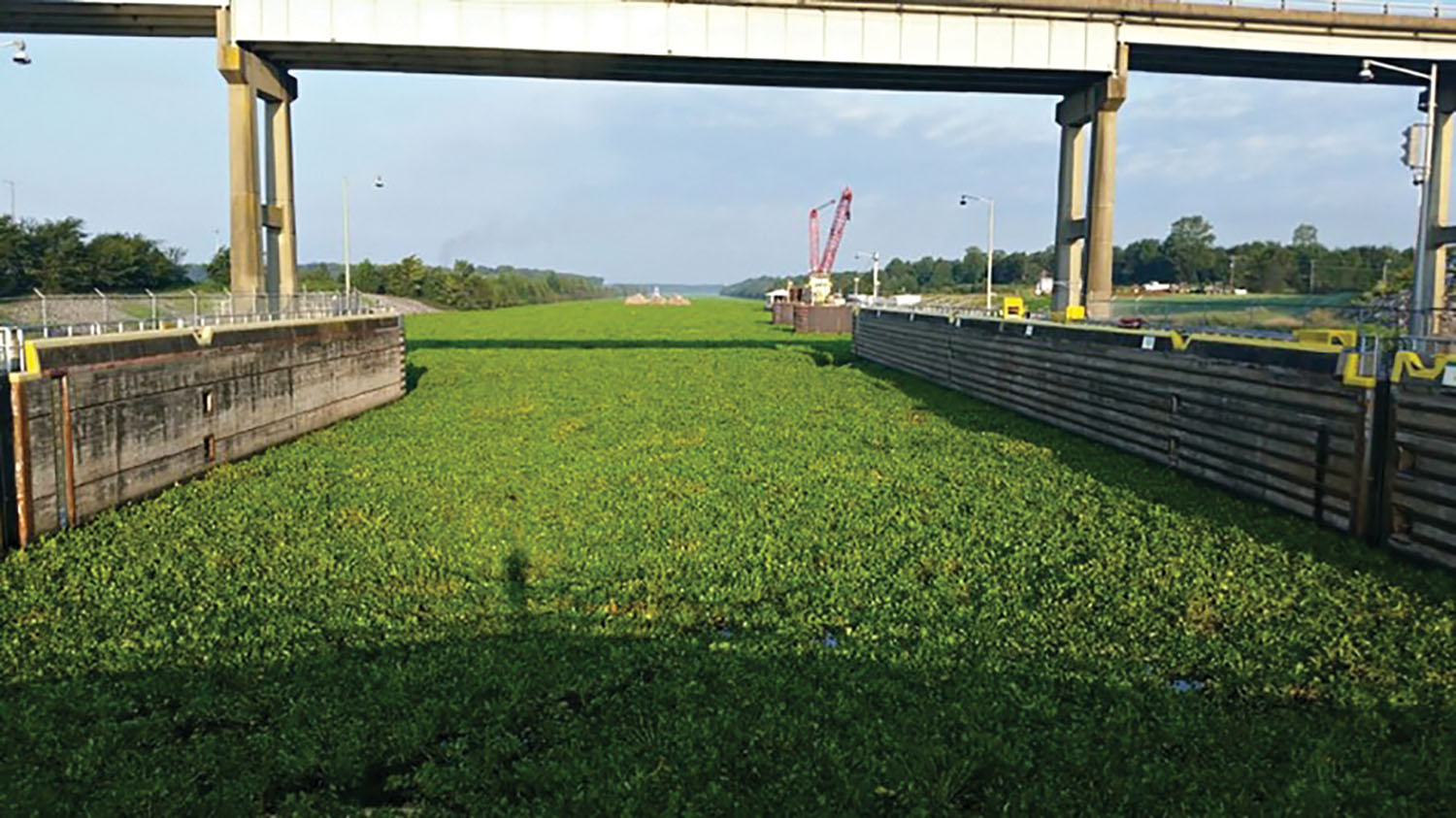 MKARNS Water Hyacinth