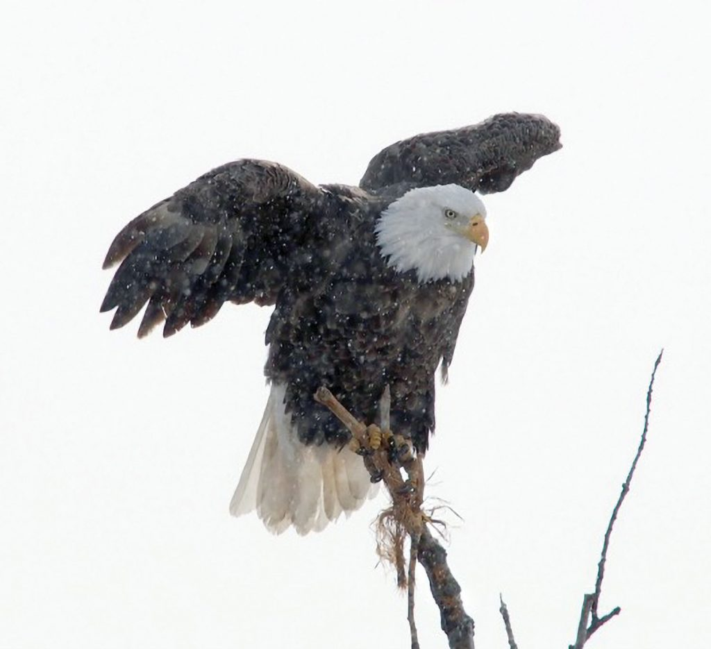 """Eagle in Snowstorm,"" by Michael Schwenker"