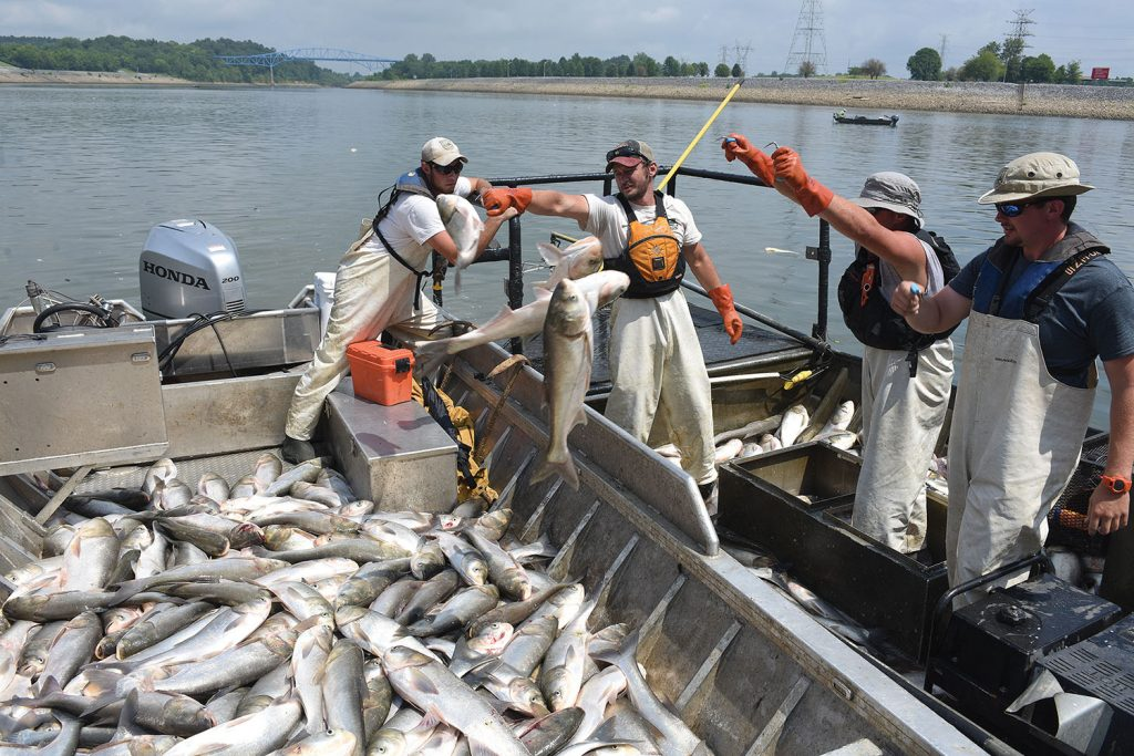 (Left to right) Nathan Rister, fisheries technician; Andrew Porterfield, fisheries technician; Josh Tompkins, fisheries biologist; and Matt Combs, fisheries biologist; Kentucky Department of Fish and Wildlife Resources, move Asian Carp from the electrofishing boat into the chase boat below Barkley Dam on the Cumberland River in Grand Rivers, Ky., July 30, 2019. The U.S. Army Corps of Engineers, U.S. Fish and Wildlife Service, Kentucky Department of Fish and Wildlife Resources, U.S. Geological Survey and Tennessee Wildlife Resources Agency are collaborating on the deployment of a bio-acoustic fish fence on the downstream side of Barkley Lock as part of a test of this sound deterrent to reduce the use of the locks by Asian Carp. (Corps of Engineers photo by Leon Roberts)