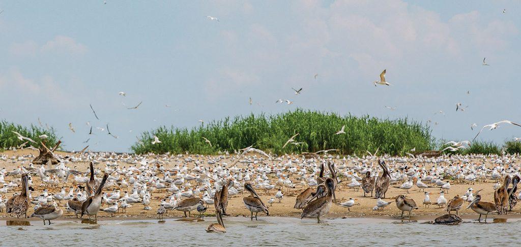 Many species of nesting birds take advantage of the newly created Gunn Island. (Photo by P.J. Hahn)