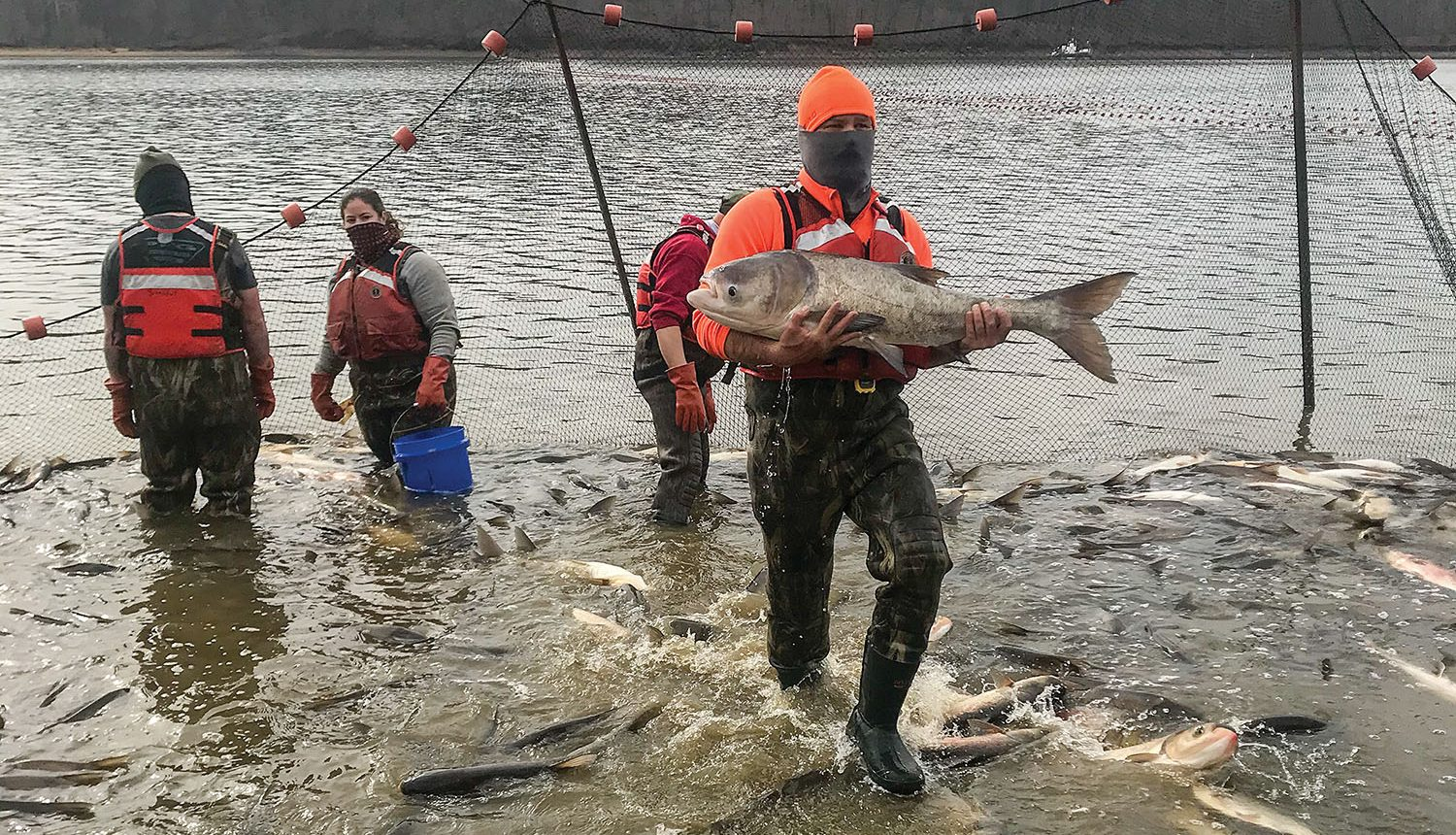 Jesse Fischer carries a bighead carp, one of four species of the invasive Asian carp, during USGS experiments in Kentucky Lake's Pisgah bay. The bighead carp are far less populous than the silver carp, which were most of what were netted during the research. Part of the work involves a depletion study to determine Asian carp populations in the studied bays. (Photo courtesy of U.S. Geological Survey)